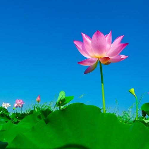 lotus-563456_640.jpg