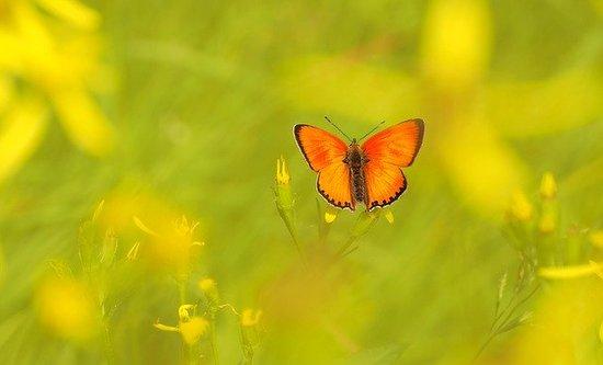 ducat-butterfly-1327623_640.jpg